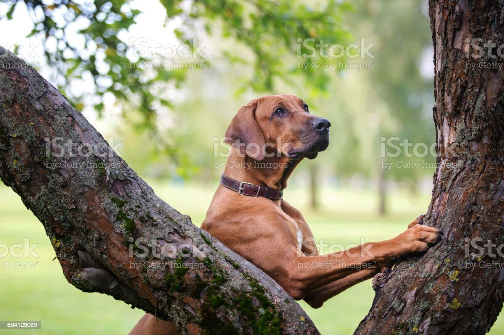 Beautiful rhodesian ridgeback dog leaning a tree trunk. royalty-free stock photo