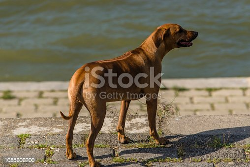 The Rhodesian Ridgeback is a Dog Breed Developed in the Southern Africa Region. Its Forebears Can be Traced to the Semi-Domesticated, Ridged Hunting Dogs of the Khoikhoi, which were Crossed with European Dogs by the Early Colonists of the Cape Colony of Southern Africa. The Rhodesian Ridgeback Has also Previously Been Known as Van Rooyen's Lion Dog or the African Lion Hound or African Lion Dog—Simba Inja in Ndebele, Shumba Imbwa in Shona—Because of its Ability to Keep a Lion at Bay While Awaiting its Master's Arrival. The Rhodesian Ridgeback's Distinguishing Feature is the Ridge of Hair Running Along its Back in the Opposite Direction from the Rest of its Coat. It Consists of a Fan-Like Area Formed by Two Whorls of Hair (Called