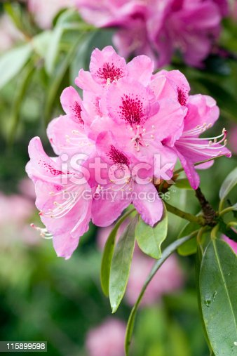 Rhododendron flower head