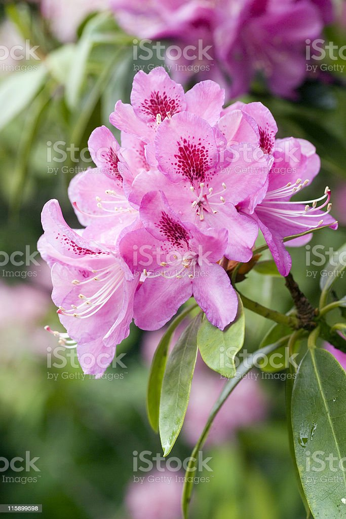 A beautiful rhododendron flower head stock photo
