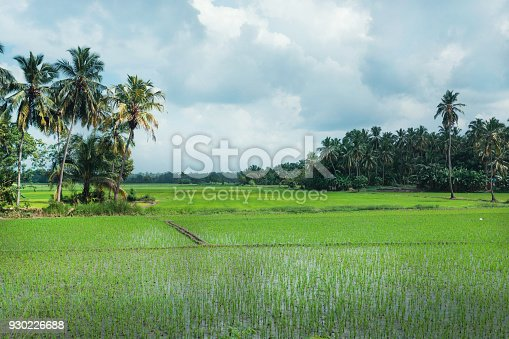 Beautiful rice fields and jungles with palm trees on natural landscape. Tropical plants at sunny weather in Sri Lanka.
