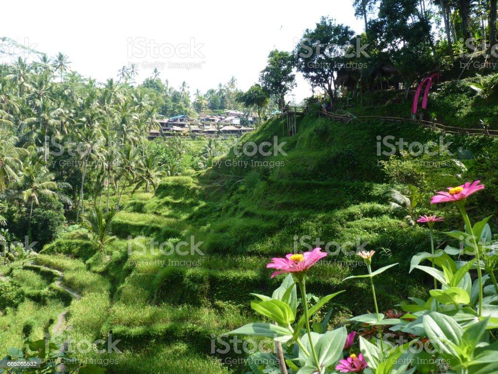 Beautiful rice fields of Tegalalang, Bali, Indonesia stock photo