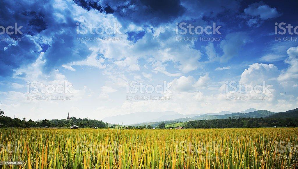 Beautiful rice fields ,Thailand royalty-free stock photo