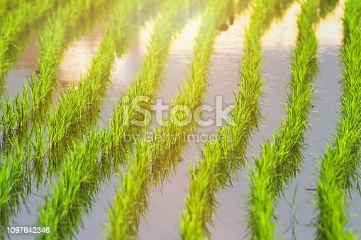 Beautiful rice paddy at dawn in Taiwan