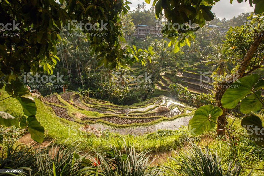 Beautiful Rice Terrace Fields Landscape In Bali Indonesia Travel Concept  Stock Photo - Download Image Now
