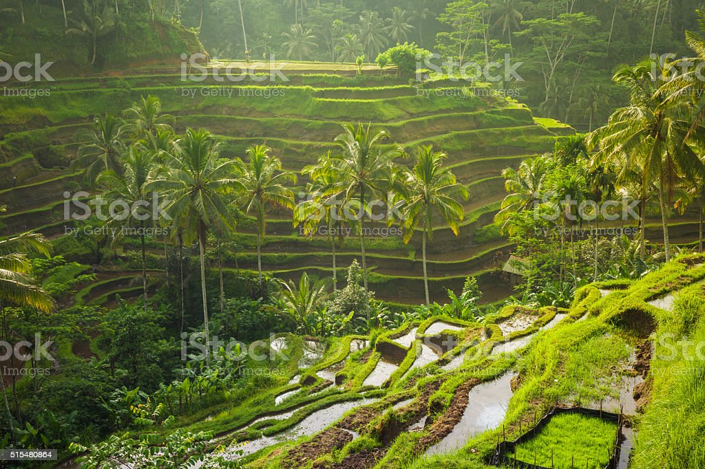 Beautiful rice terraces, Ubud, Bali, Indonesia stock photo