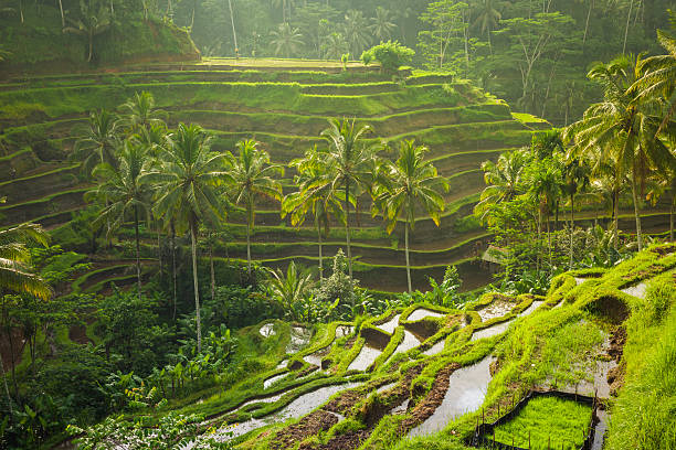 Beautiful rice terraces, Ubud, Bali, Indonesia Beautiful rice terraces in the moring light near Tegallalang village, Ubud, Bali, Indonesia. indonesia stock pictures, royalty-free photos & images