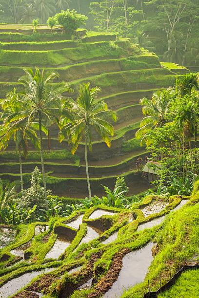 Beautiful rice terraces, Ubud, Bali, Indonesia stock photo