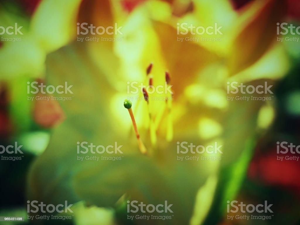 Beautiful rich yellow azalea blossoms in the garden zbiór zdjęć royalty-free