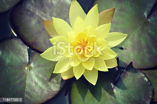 Beautiful rich yellow color of a waterlily on the water's surface view from the top