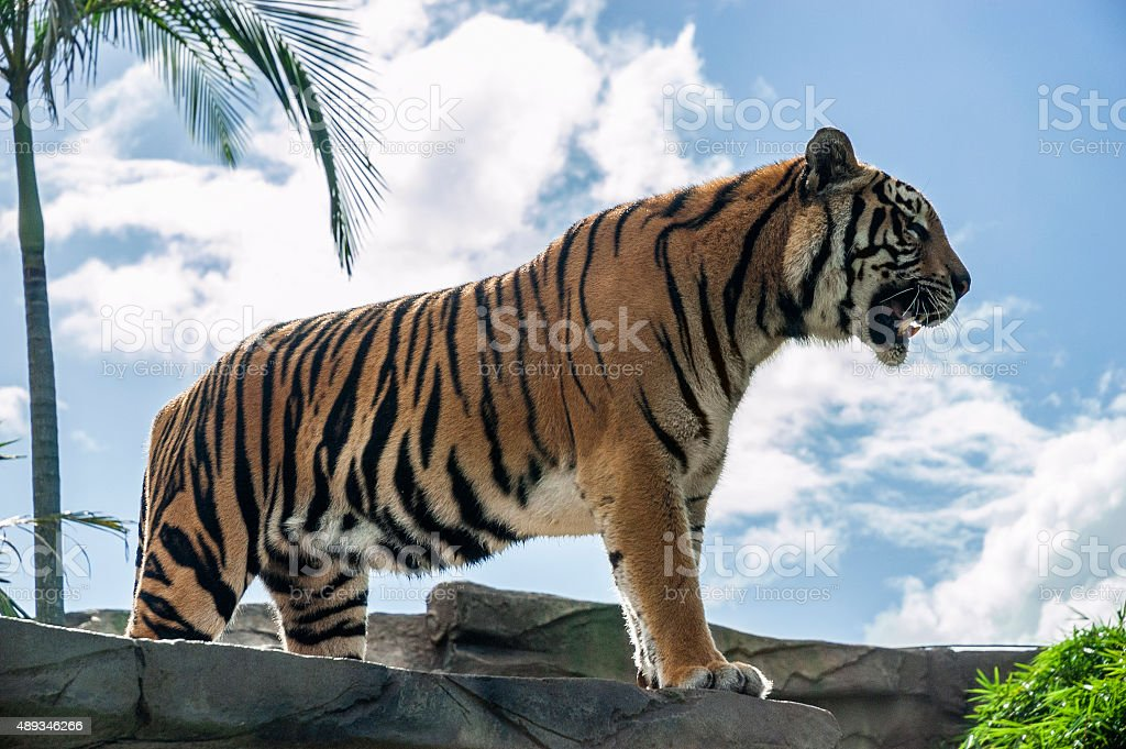 Beautiful roaring tiger stock photo