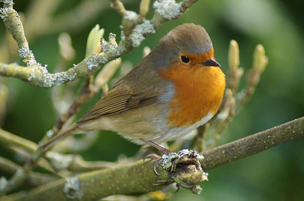 Beautiful robin stock photo