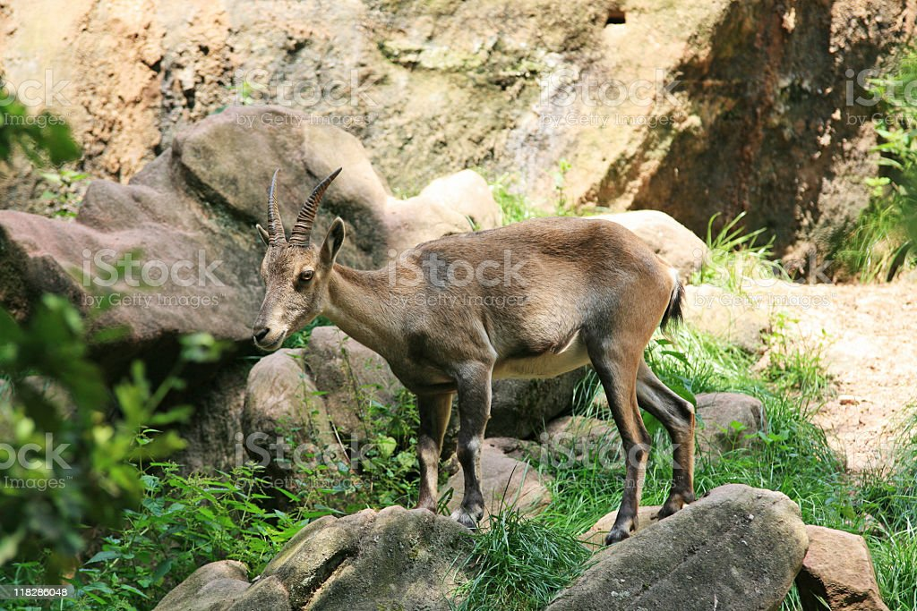 Beautiful rock goat in the nature environment royalty-free stock photo