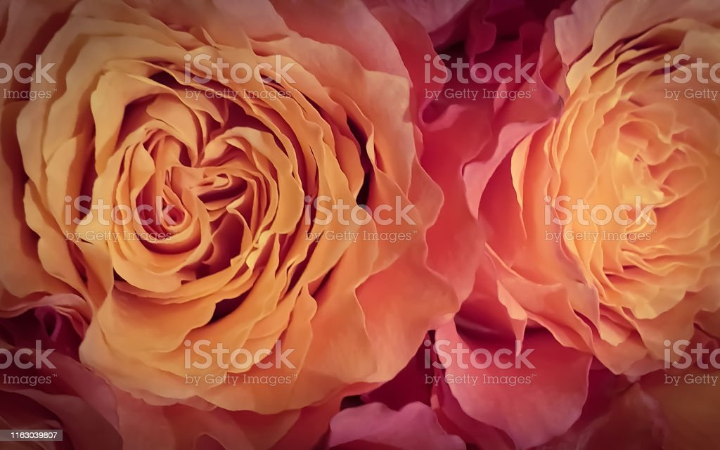 beautiful romantic rose petals flower background wallpaper picture id1163039807