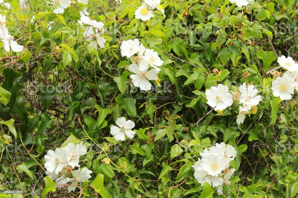 Beautiful Rosa Laevigata white flowers - Zbiór zdjęć royalty-free (Arrabida Natural Park)