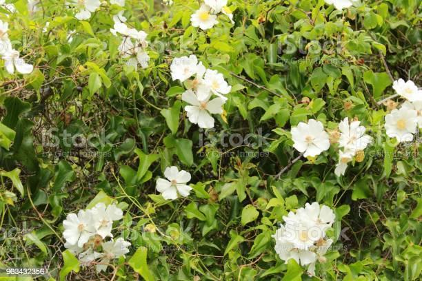 Piękne Rosa Laevigata Białe Kwiaty - zdjęcia stockowe i więcej obrazów Arrabida Natural Park