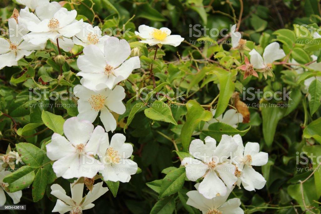 Güzel Rosa Laevigata beyaz çiçekler - Royalty-free Alternatif Tıp Stok görsel