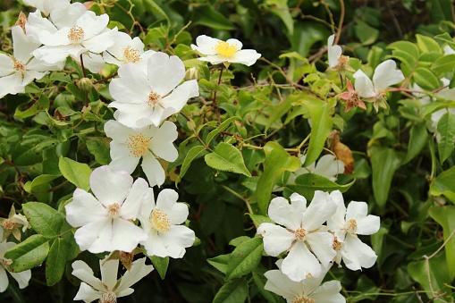 Güzel Rosa Laevigata Beyaz Çiçekler Stok Fotoğraflar & Alternatif Tıp'nin Daha Fazla Resimleri