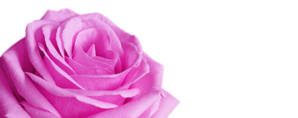 Beautiful rose background for valentines day picture id1204877551?b=1&k=6&m=1204877551&s=612x612&w=0&h=teyctwfx0icv7gjb4crptth k1t1szqjrdhkq5k6vh0=