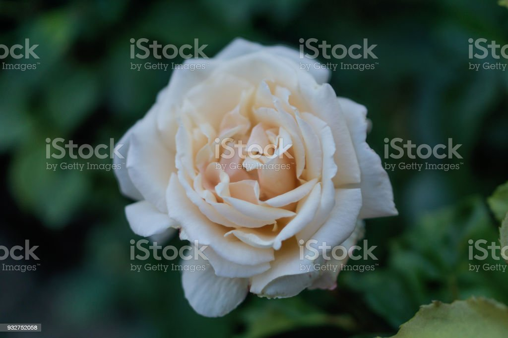 A beautiful rose bloomed in the garden, a bokeh background. Gentle color of spring, the magic of nature. Shallow depth of focus. stock photo