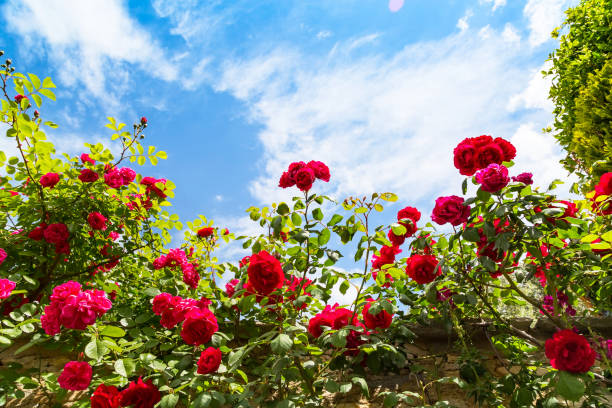 Beautiful rose bush against blue sky with clouds stock photo