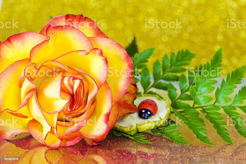 Beautiful rose close-up royalty-free stock photo