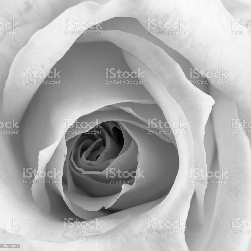 Beautiful Rose Closeup stock photo