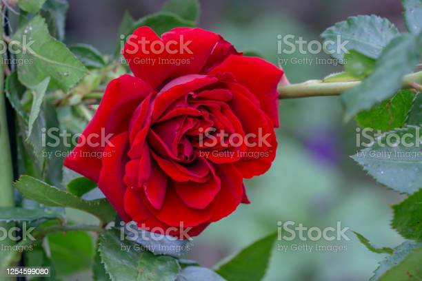 Beautiful rose flower in garden colourful roses flower picture id1254599080?b=1&k=6&m=1254599080&s=612x612&h=hlwj6ppra9civlhv07vb kmoddutyaozdy2m598mrbu=