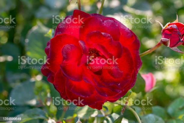 Beautiful rose flower in garden colourful roses flower picture id1254599549?b=1&k=6&m=1254599549&s=612x612&h=e5 bb3u9z7yikuxfrlgniytcwvx5 ijbv43q0x7nblq=