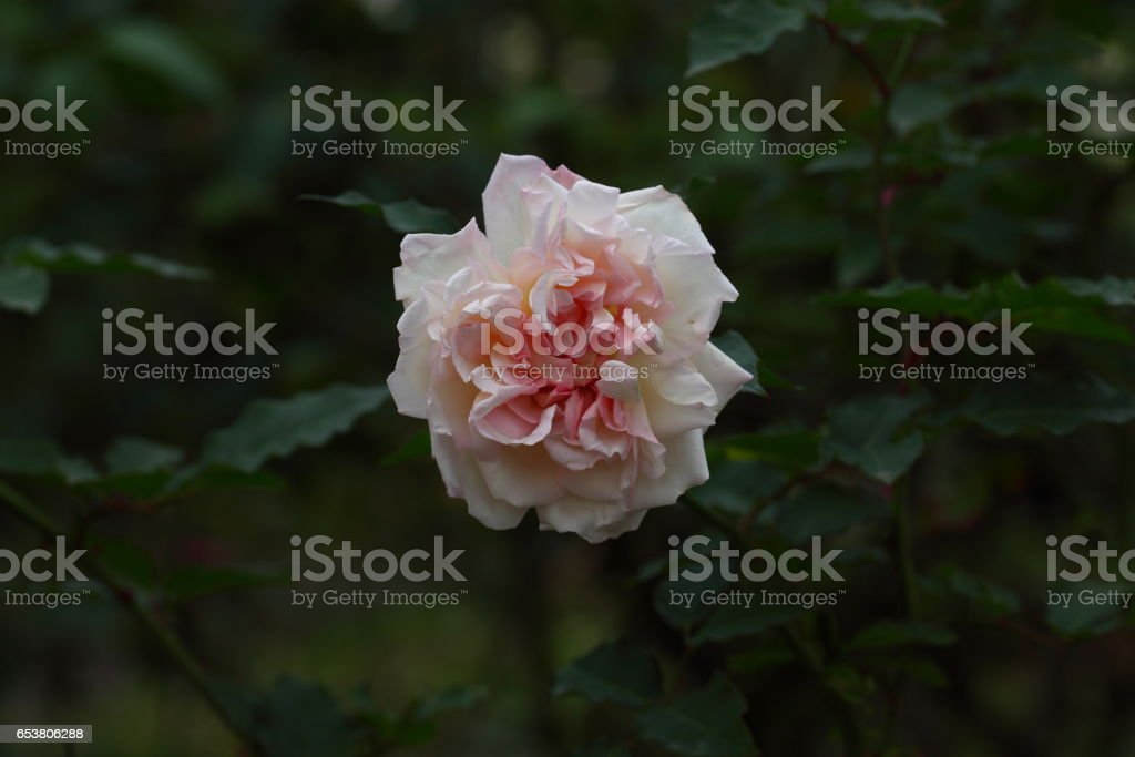 Beautiful Rose flower in the garden stock photo