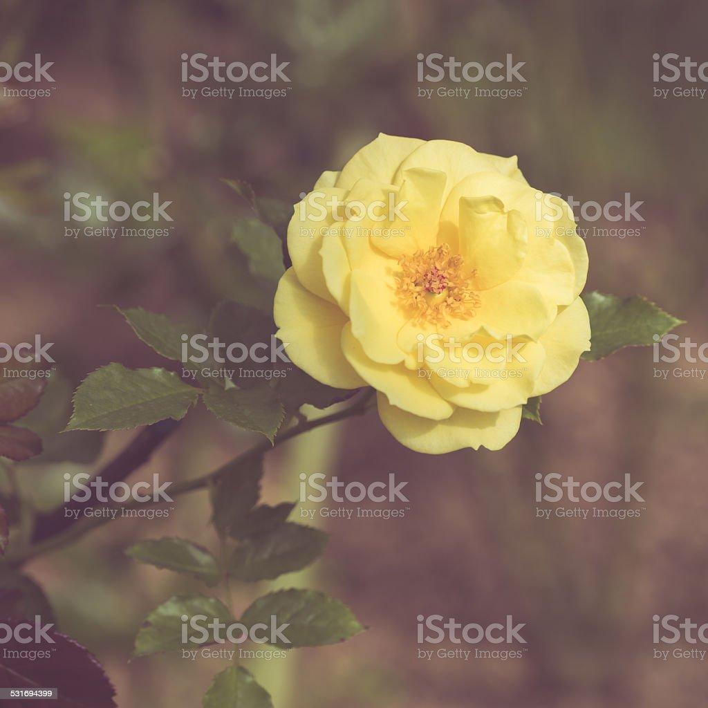 Photo libre de droit de Belle Rose Fleurs Dans Le Jardin De Style ...