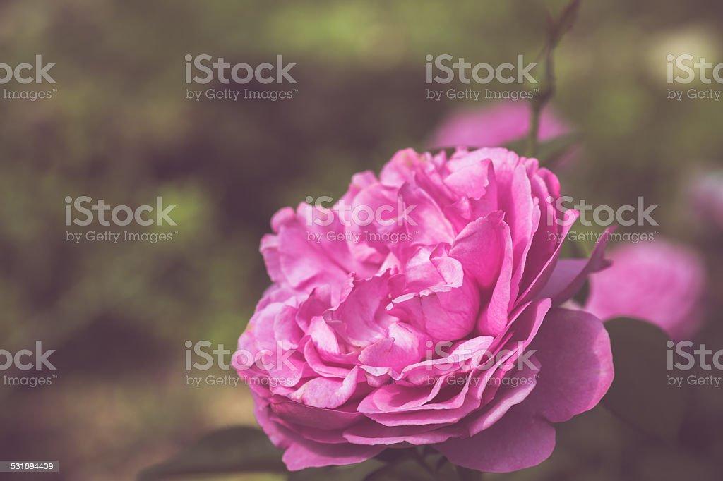 Photo libre de droit de Belle Rose Fleurs Dans Le Jardin De ...