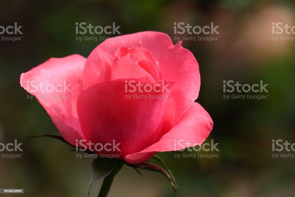 Beautiful Rose flower in the garden, Sonora stock photo