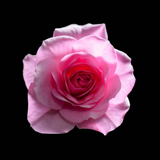 Beautiful rose flower isolated on black picture id958607382?b=1&k=6&m=958607382&s=612x612&w=0&h=v7tgiplslwtr7wd9ufdkgrtrg1dqvjnrao7czrm8mp8=