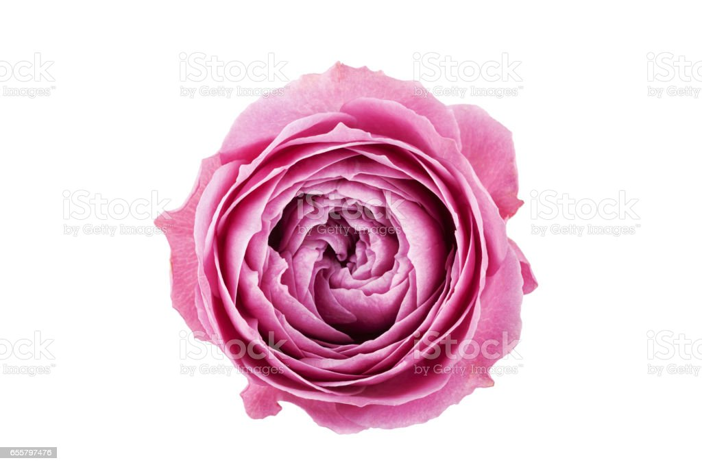 Belle fleur rose isolé sur fond blanc. - Photo