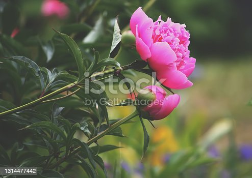 Rose flowers growing in the summer garden