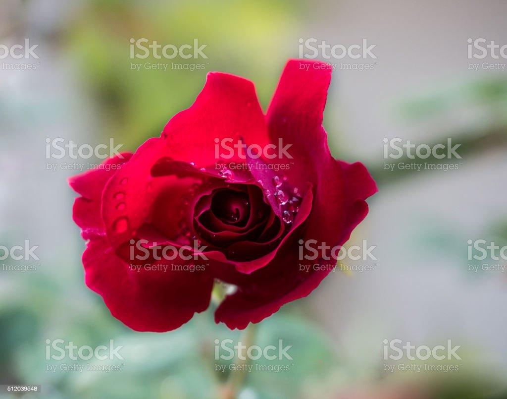 Fotografia De Hermosas Flores Rosas Con Gotas De Agua Y Mas Banco De