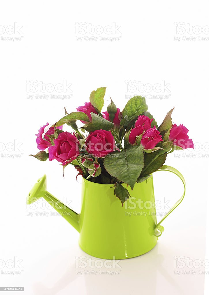 Beautiful rose flowers  in watering can isolated on white stock photo
