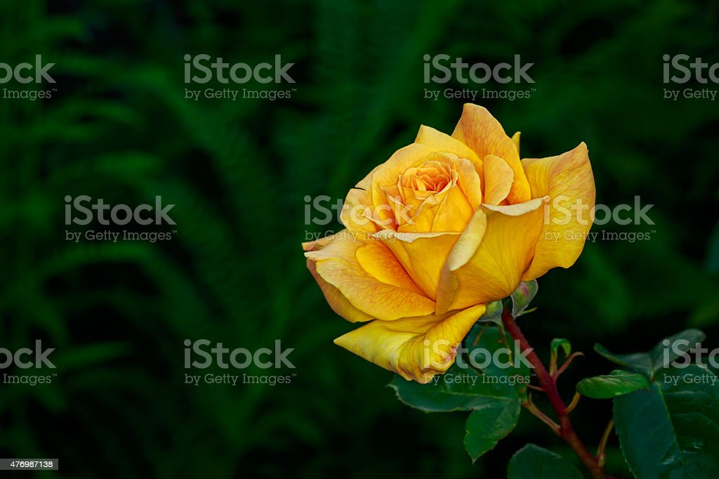 Beautiful Rose in Full Blossom stock photo