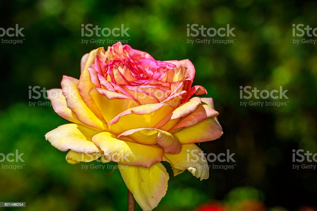 Bella rosa in pieno fiore foto stock royalty-free