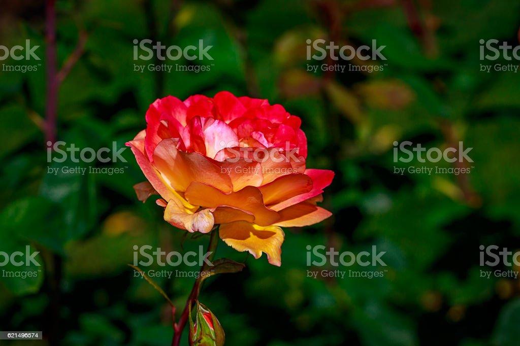 Bella rosa in pieno fiore foto stock royalty-free