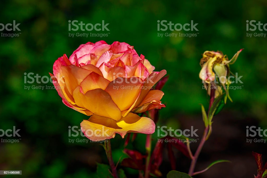 Belle Rose en fleurs photo libre de droits