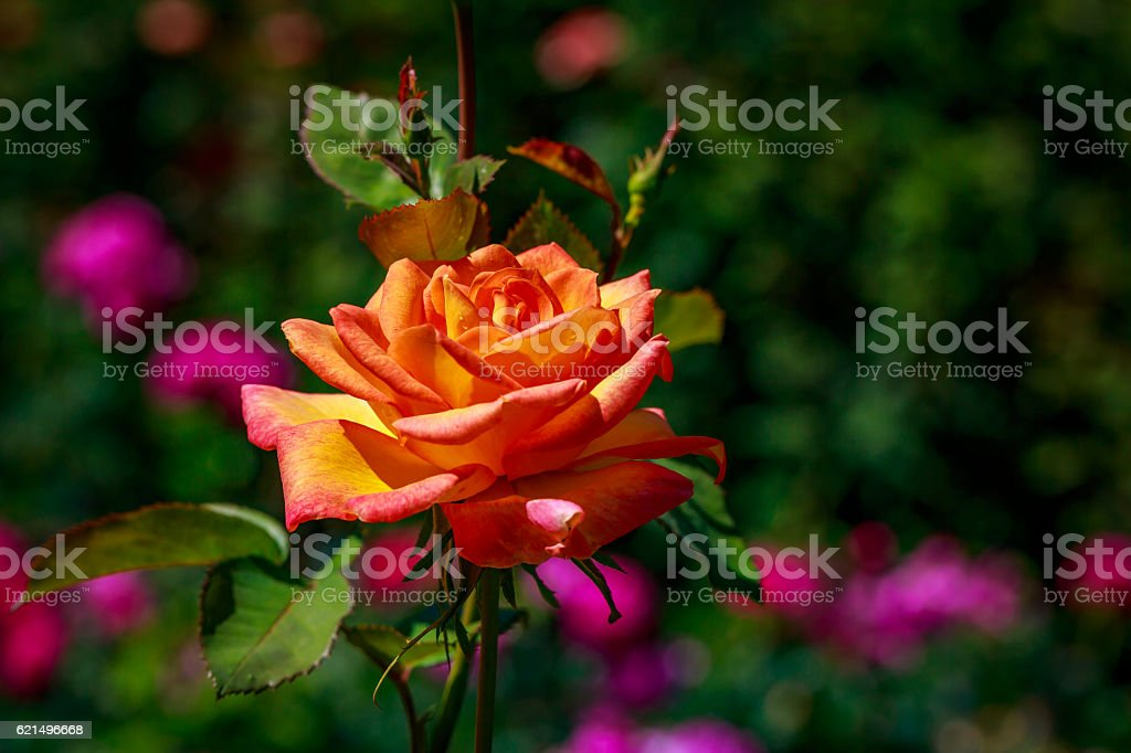 Belle Rose en fleurs photo libre de droits