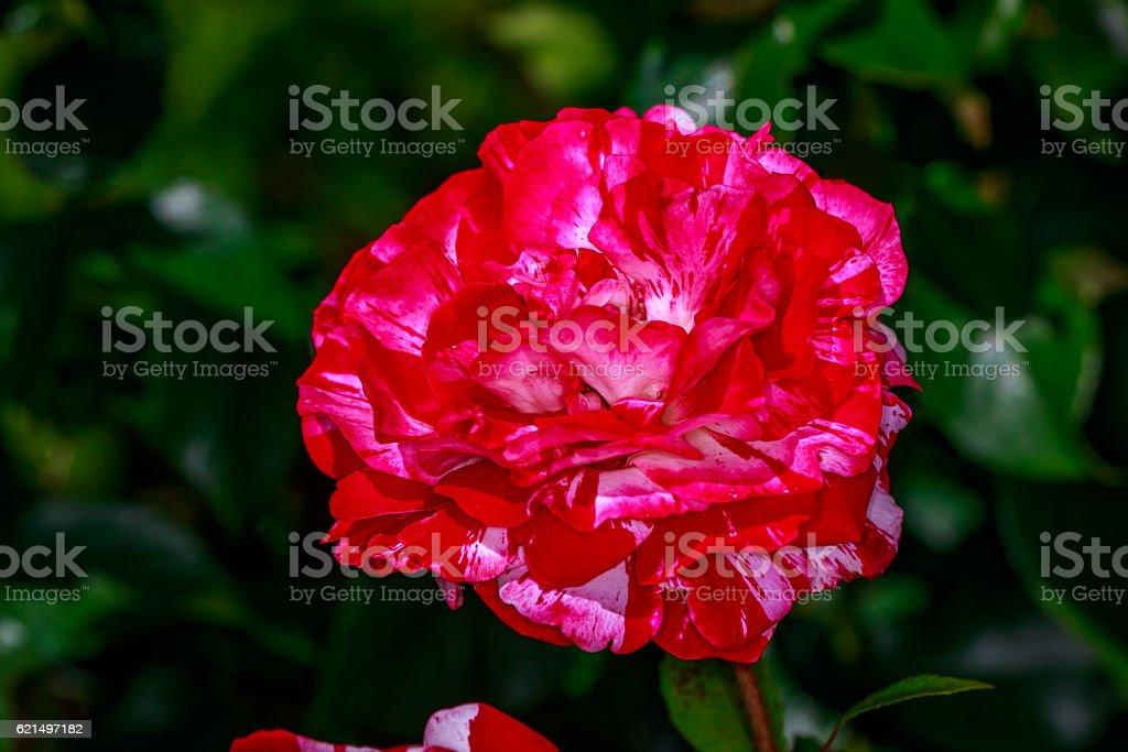 Wunderschöne Rose in voller Blüte Lizenzfreies stock-foto