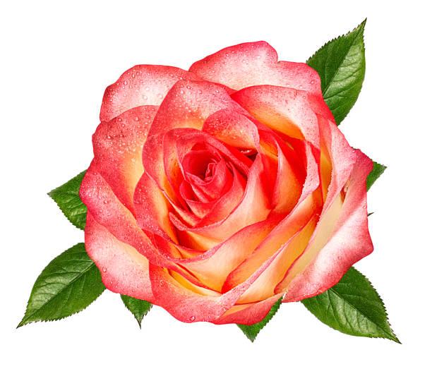 Beautiful rose isolated on white background with clipping path picture id1124390672?b=1&k=6&m=1124390672&s=612x612&w=0&h= at46oq r2i6hbfjd4zlj3zx1fwuzfb0zlyllo wy1u=