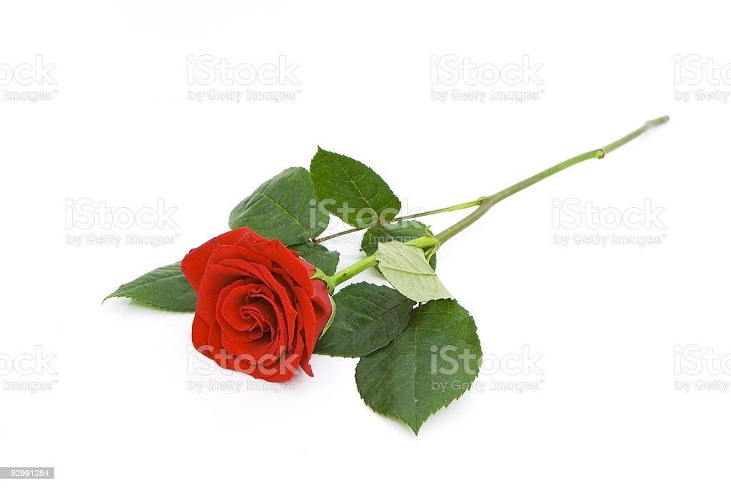 beautiful rose isolated stock photo