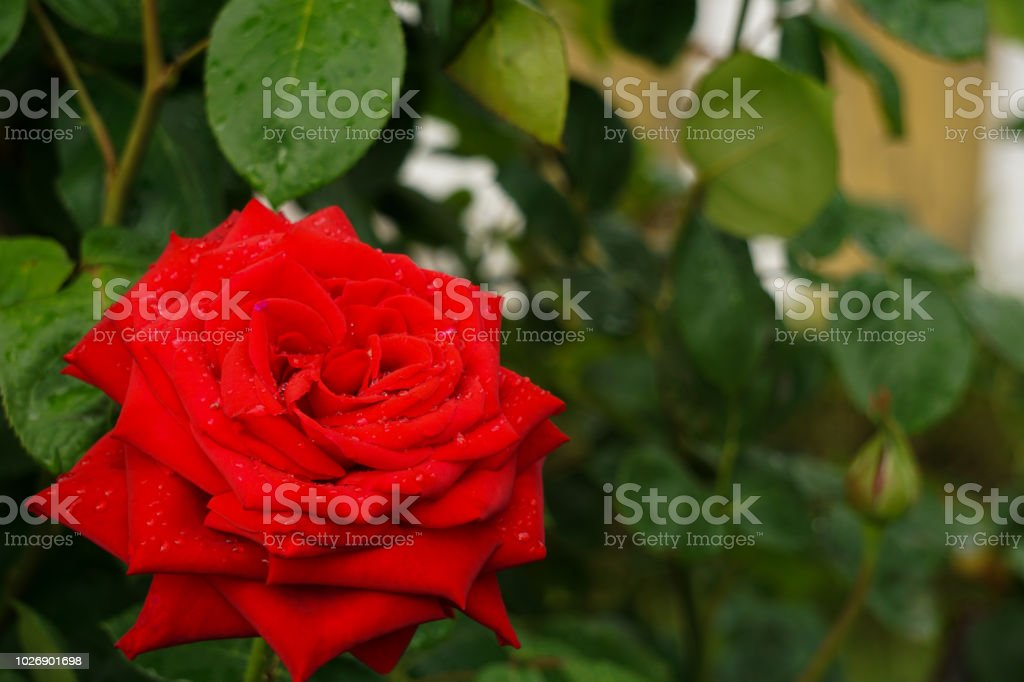 A beautiful rose on a rainy day.