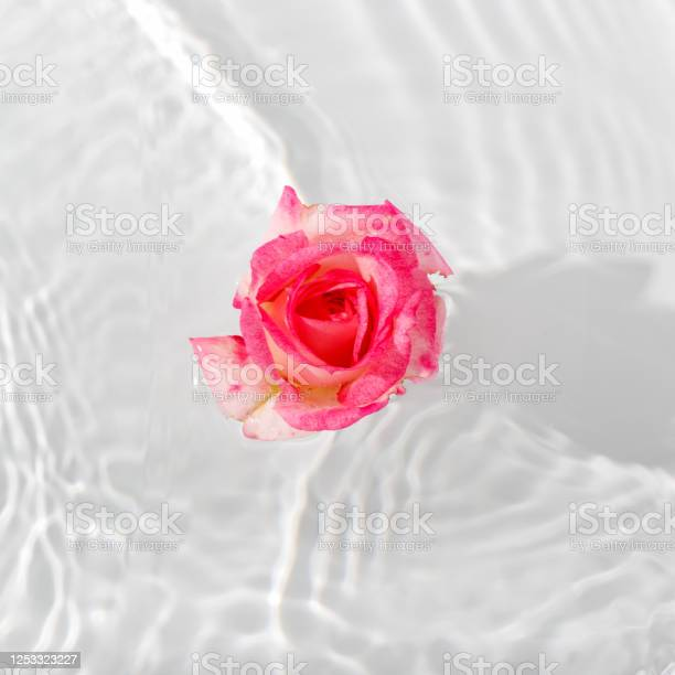 Photo of Beautiful rose petals macro with drop floating on surface of the water close up.