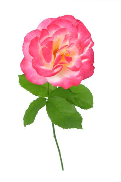 Beautiful rose picture id1164055222?b=1&k=6&m=1164055222&s=612x612&w=0&h=wkjjk0 ywlmra61itfn9oul7i4miscozpvopif8f4ja=
