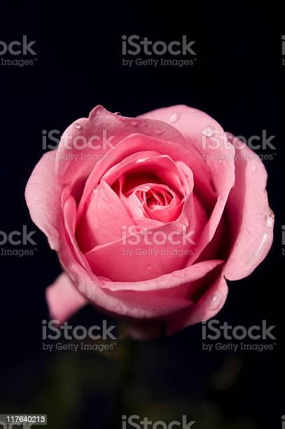 Beautiful rose picture id117640213?b=1&k=6&m=117640213&s=612x612&h=sal7gtt3ittxwdfaq2xxxeh9vvx0vrhopzoua8qcfea=